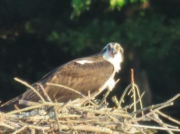 osprey pic 1