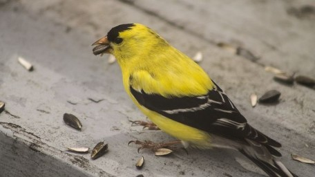 Goldfinch with seeds (2)